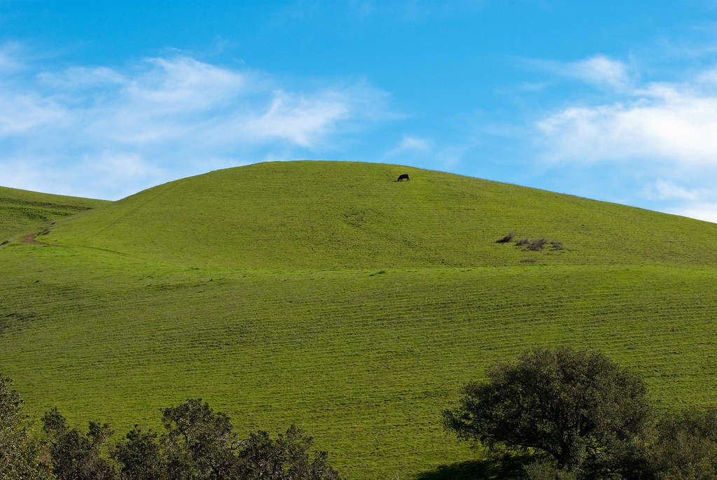 Blue Sky Green Hill And A Cow Looking Up At The Green