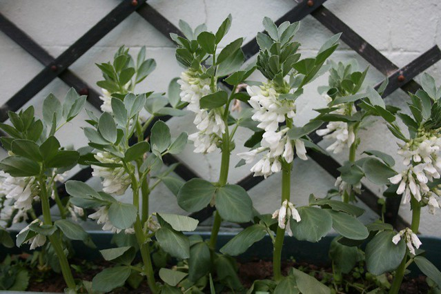 Broad bean bed