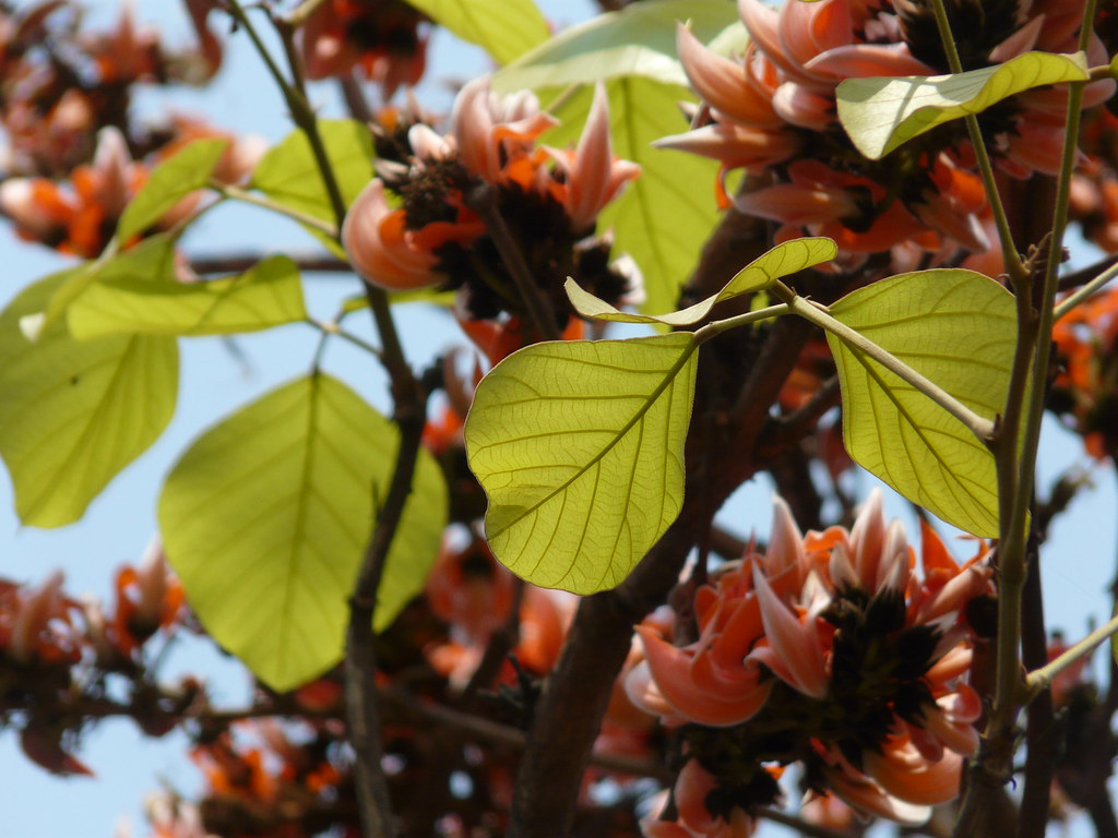 Tesu (Hindi: टेसू) | Palash (Hindi: पलाश) is the State ... Palash Flower In Hindi