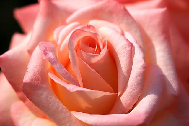 Spring Rose 39 Diana Princess Of Wales 39 Naruo0720 Flickr