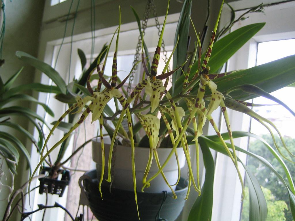 Resultado de imagem para Brassia Eternal Wind