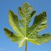 Folha de Figueira // Fig Tree leaf (Ficus carica)