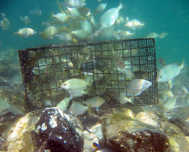 Pinfish trap destin florida destin jetty evidently a for Homemade fish trap