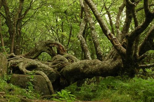 Craggy Tree In Craggy Gardens North Carolina