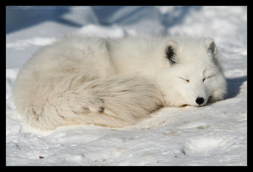 Snow Nap | by imagineerphoenix