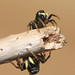 Jumping spiders - Heliophanus sp.