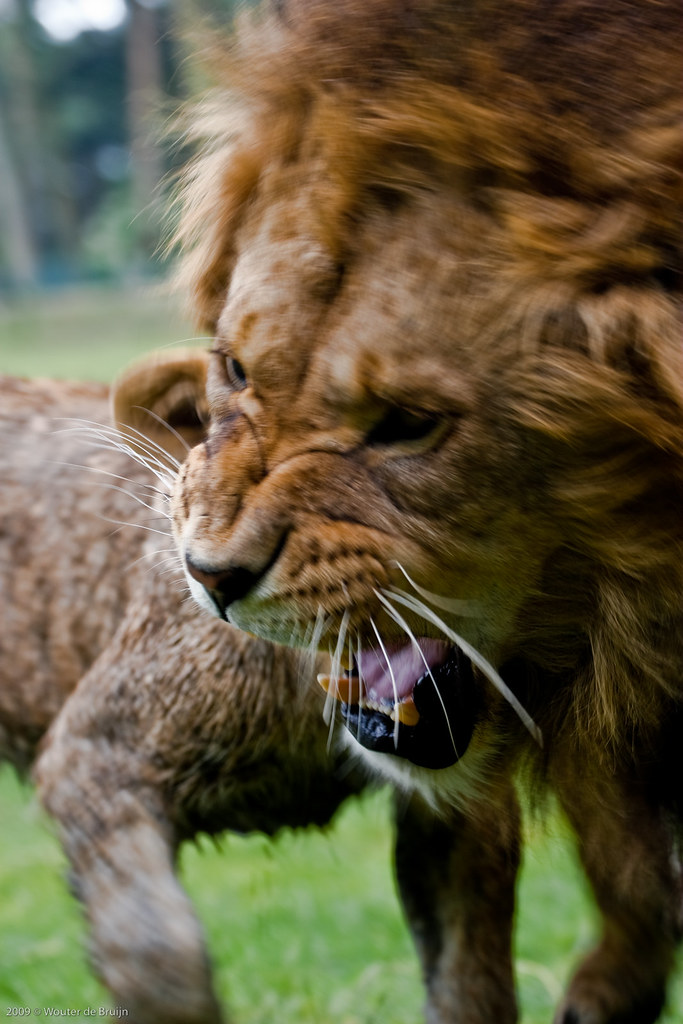 S And W >> The lion's roar | King lion is getting pissed off at his ...