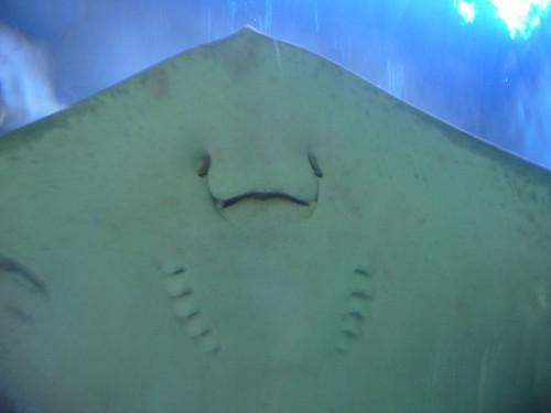 manta ray face flickr photo sharing. Black Bedroom Furniture Sets. Home Design Ideas