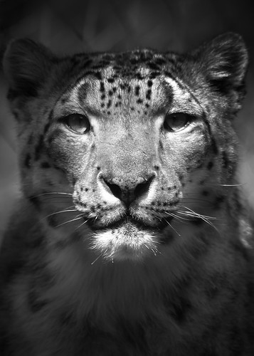 Snow Leopard Stare | by JNad