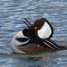 Hooded Merganser clacking