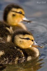 Mallard Ducklings | by Nick Chill Photography