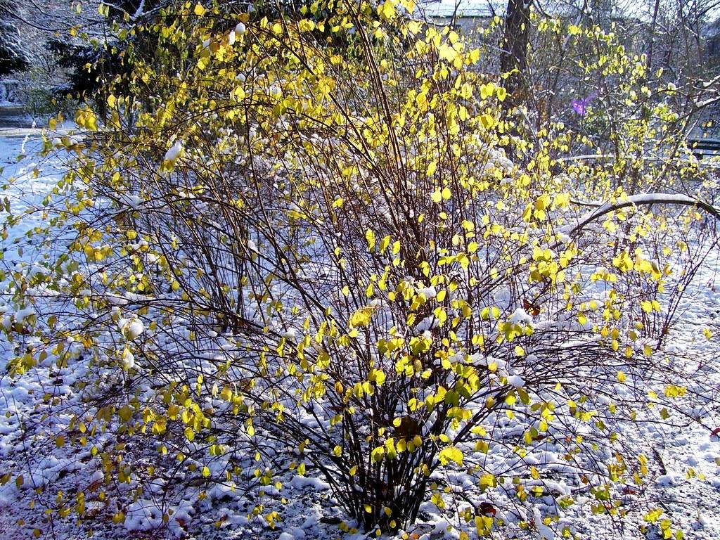 gelber strauch im schnee golden leafs in the winter sun. Black Bedroom Furniture Sets. Home Design Ideas