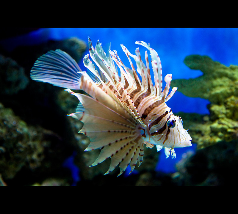 Cool looking fish scorpion fish moody garden aquarium in for Cool fresh water fish