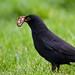 Blackbird catching a worm