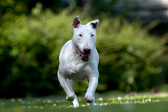 Bull-Terrier | by dendoor