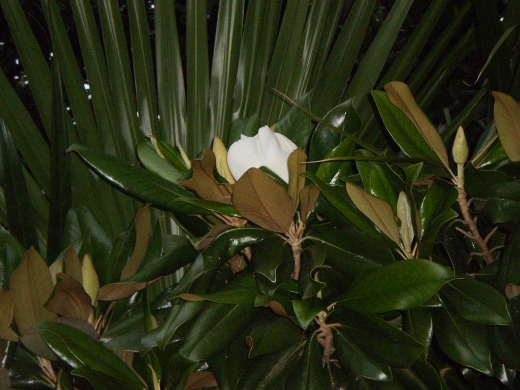 The Louisiana state flower Magnolia Leigh Williams