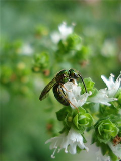 Jewel Wasp on Oregano | by Chiot's Run