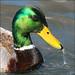 ~ Duck Dribble ~