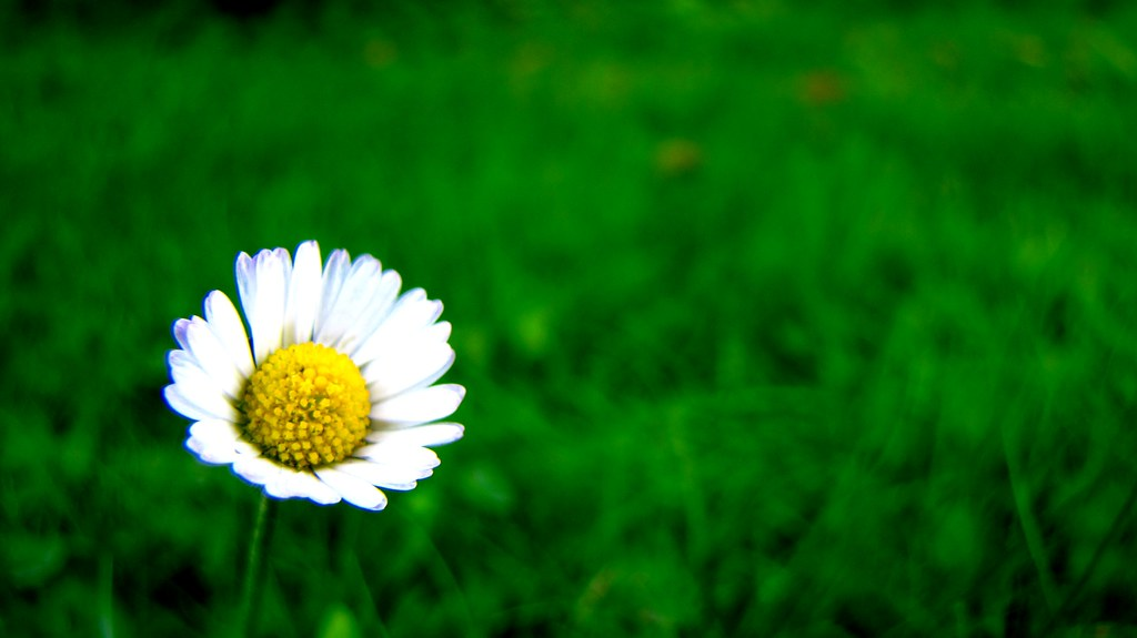 You make pretty daisies pretty daisies love another Where did daisies originate
