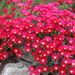 Lampranthus species 'Cherry Bomb'