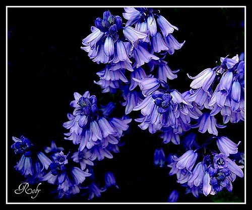 A Bluebell Cluster | by Roly40