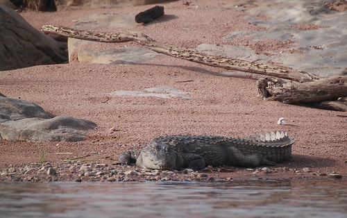 Mugger crocodile (Crocodylus palustris) | by brian.gratwicke