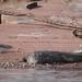 Mugger crocodile (Crocodylus palustris)