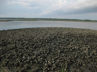 Oyster Reef in Alligator Harbor | by wfsu.org