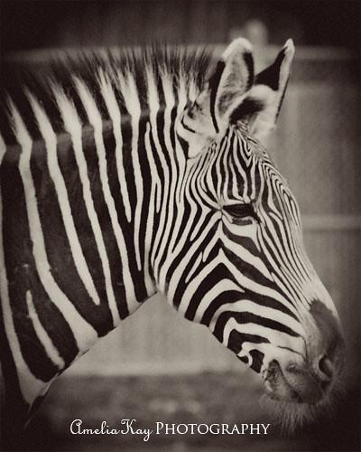 Zebra Side Face