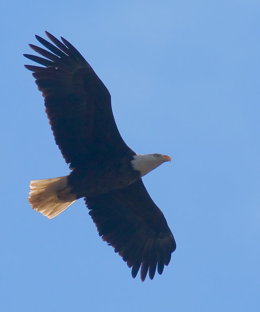 Bald Eagle on the Grand River | Just for an update for anyon… | Flickr