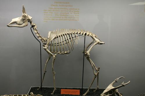 Pronghorn Antelope (Antilocapra americana) | Flickr - Photo Sharing!
