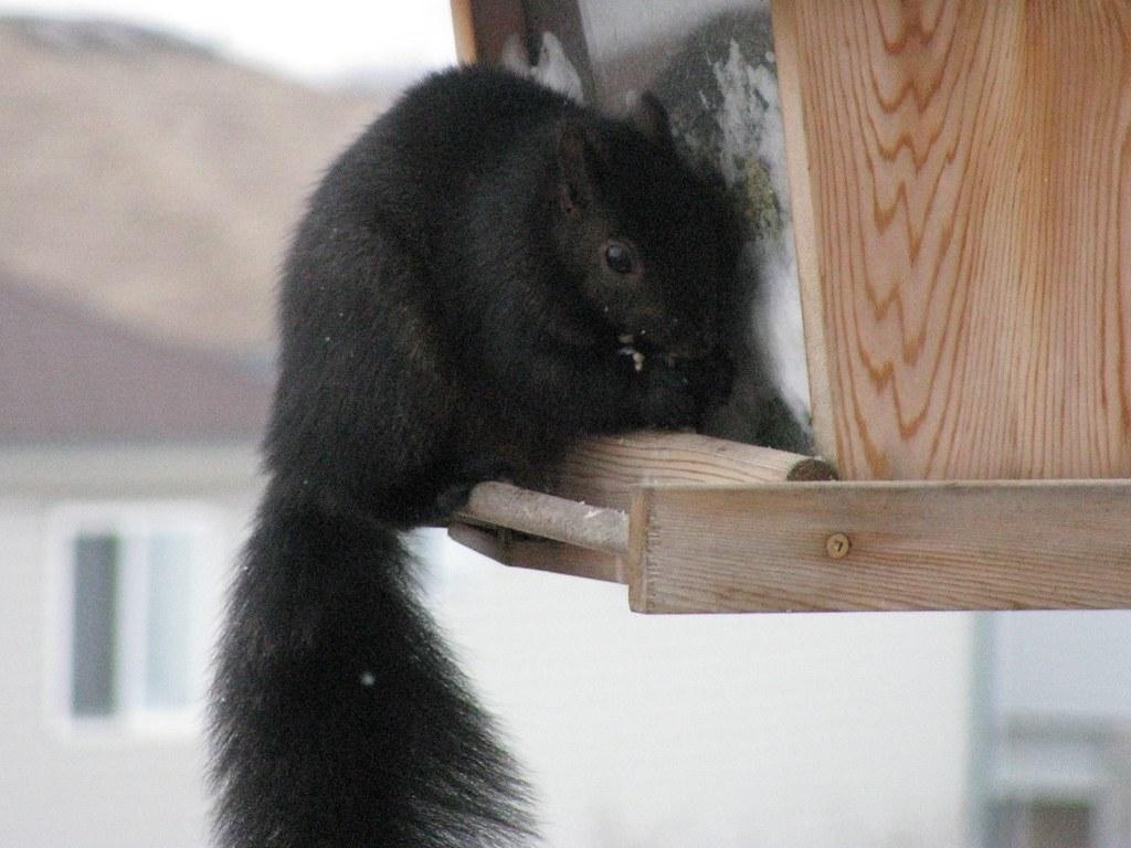 Sciurus carolinensis (Black Squirrel) | Black Squirrel (Sciu ...