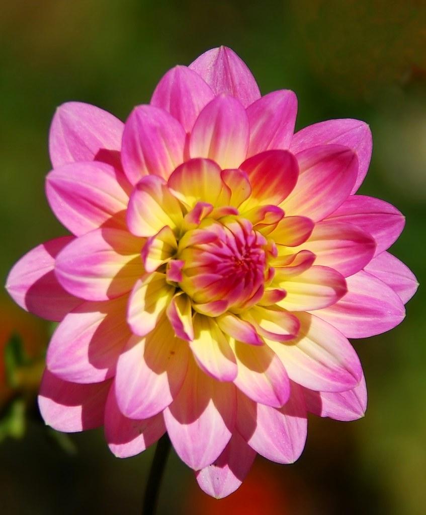 Pink Yellow Dahlia Family Asteraceae Blake Garden Flickr