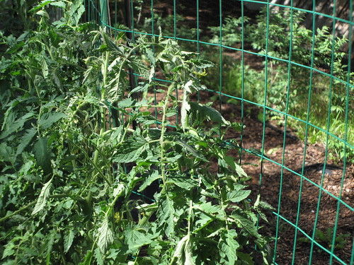 Tomatoes being trained vertically | by Carolannie...sorta here and there