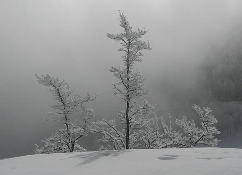 neige petits arbres et brouillard