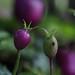 Panakenake (Lobelia angulata) from West-Javan mountain rainforest