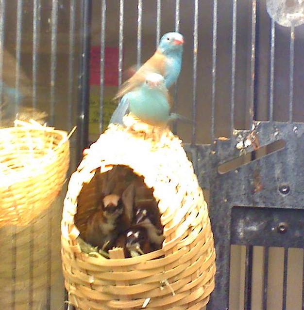 Cordon bleu finch nest - photo#4