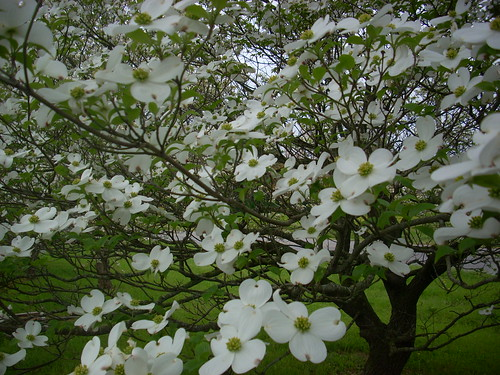 Dogwood in Bloom | by Kathy Blades