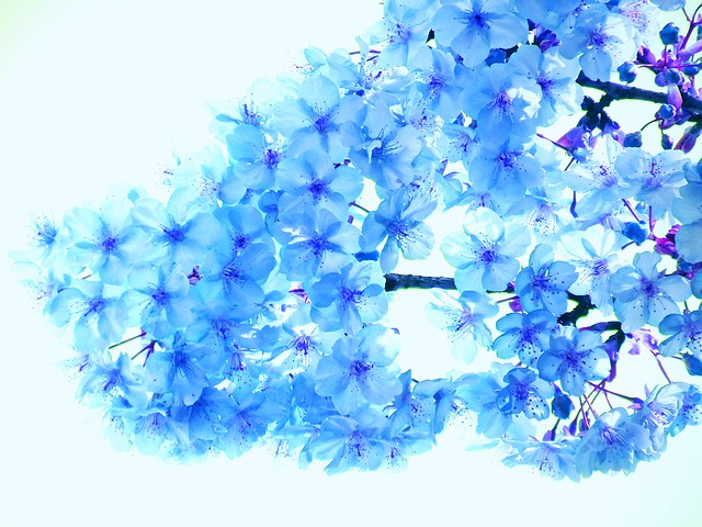 blue cherry blossoms