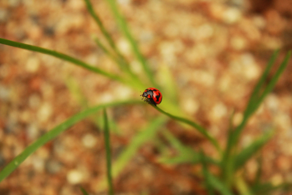 Lady Bug | saw this little cutie. | Fayez Closed Account. | Flickr