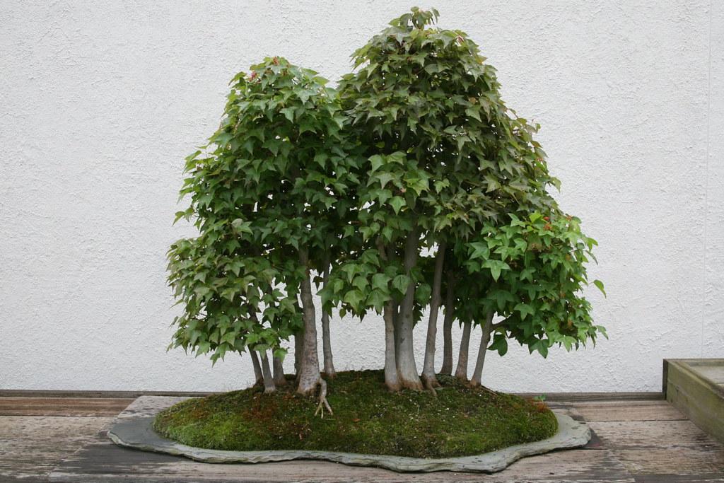 Большие деревья в домашних условиях 161