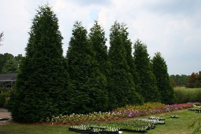 Thuja Green Giant Standing Tall Park Seed Flower Day