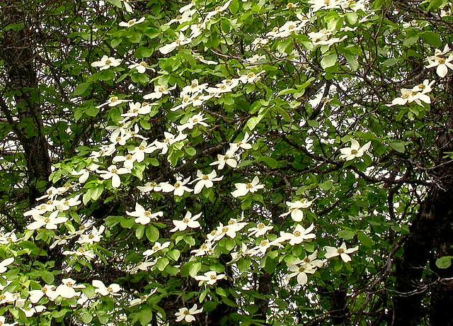 Western Dogwood Tree Cascading White Flowers Of The Westen Flickr