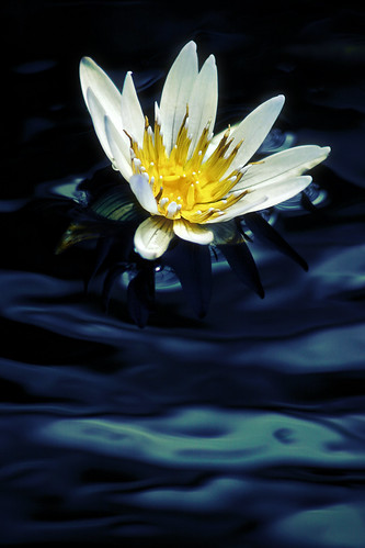 Water Lilly illuminated | by alan shapiro photography