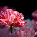 Tulip in light