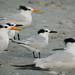 Right Terns-Royal and Sandwich 01-2008 Sanibel_FL
