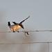 Loggerhead Shrike-balancing act