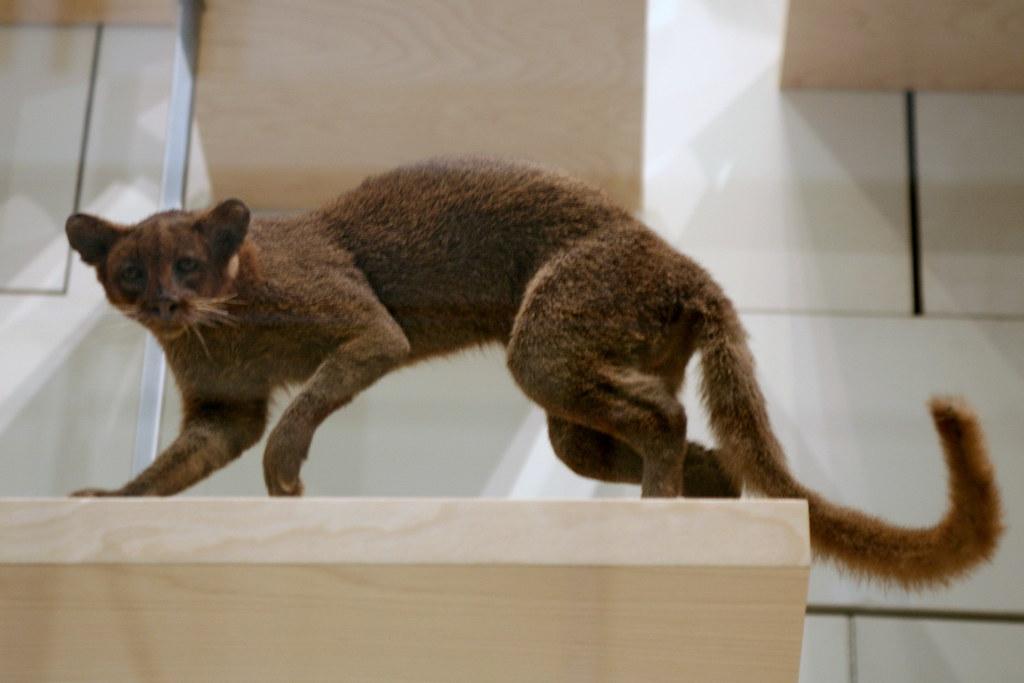 New Species Of Cat