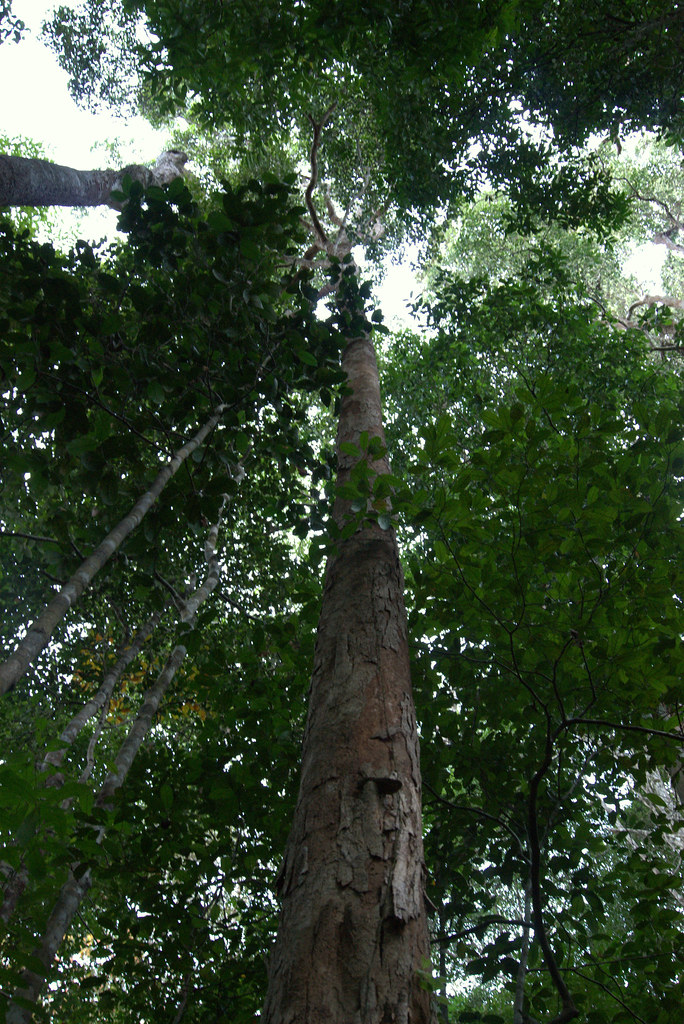 pokok keranji - heard & eat buah keranji..first time I see ...