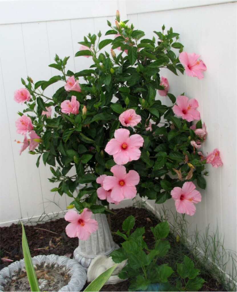 Today Is Pink Hibiscus Day! My